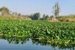بازدید میدانی مهندس حیدری فرماندار شهرستان لنگرود از وضعیت گیاه مهاجم سنبل آبی در چمخاله
