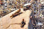 حمله ملخ های مراکشی به اراضی کشاورزی گیلان