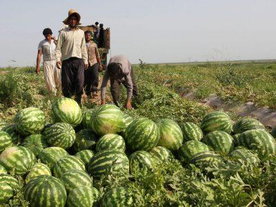 برداشت بالغ بر ۶۶ هزار تن هندوانه در گیلان